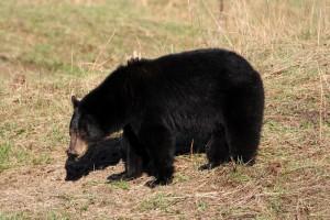 Schwarzbär beim Grasen