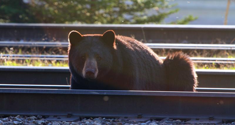 Schwarzbär im Gleisbett